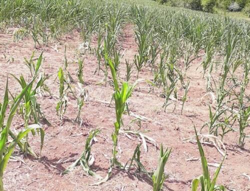 RS já tem culturas impactadas pela seca