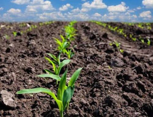 Preço do milho se mantém firme na reta final do plantio no Brasil